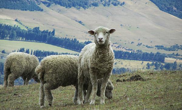 laine_mouton